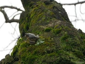 薄墨桜のカエル